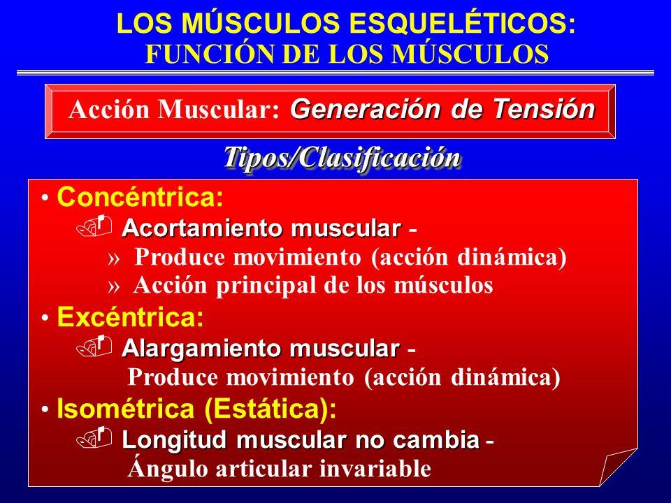 LOS MÚSCULOS ESQUELÉTICOS: FUNCIÓN DE LOS MÚSCULOS Tipos/ClasificaciónTipos/Clasificación Concéntrica: Acortamiento muscular Acortamiento muscular - »
