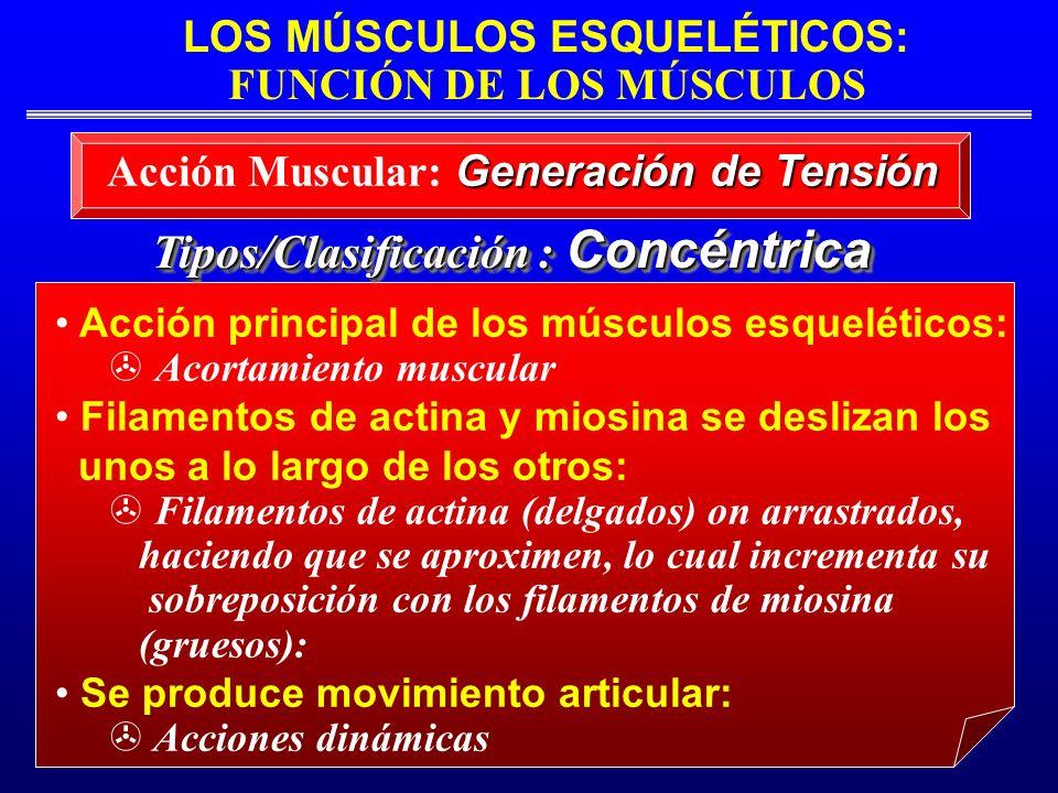 LOS MÚSCULOS ESQUELÉTICOS: FUNCIÓN DE LOS MÚSCULOS Tipos/Clasificación : Concéntrica Acción principal de los músculos esqueléticos: Acortamiento muscu