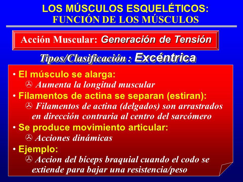 LOS MÚSCULOS ESQUELÉTICOS: FUNCIÓN DE LOS MÚSCULOS Tipos/Clasificación : Excéntrica El músculo se alarga: Aumenta la longitud muscular Filamentos de a