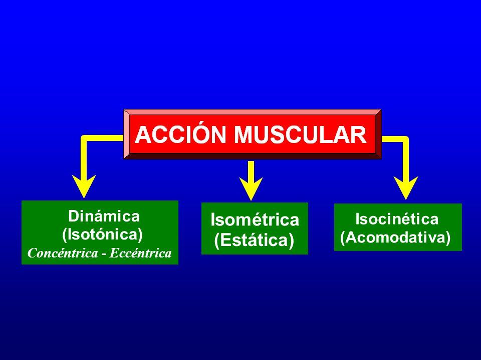 Dinámica (Isotónica) Concéntrica - Eccéntrica Isométrica (Estática) Isocinética (Acomodativa)