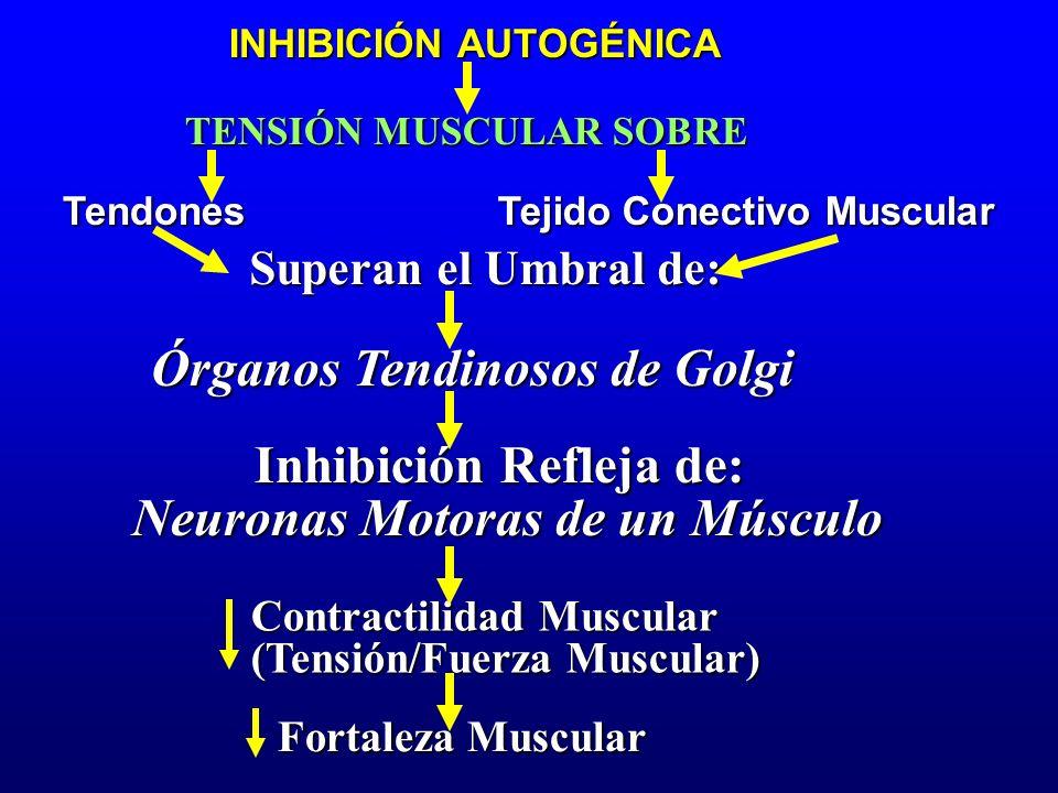 TENSIÓN MUSCULAR SOBRE Tendones Superan el Umbral de: Órganos Tendinosos de Golgi Inhibición Refleja de: Tejido Conectivo Muscular Neuronas Motoras de