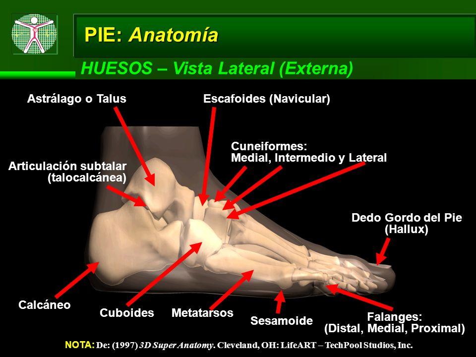 PIE: Anatomía HUESOS – Vista Lateral (Externa) NOTA: De: (1997) 3D Super Anatomy. Cleveland, OH: LifeART – TechPool Studios, Inc. Calcáneo Dedo Gordo