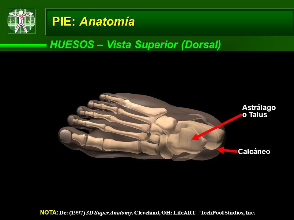 PIE: Anatomía HUESOS – Vista Superior (Dorsal) NOTA: De: (1997) 3D Super Anatomy. Cleveland, OH: LifeART – TechPool Studios, Inc. Astrálago o Talus Ca