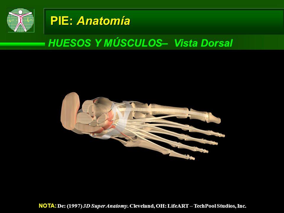PIE: Anatomía HUESOS Y MÚSCULOS– Vista Dorsal NOTA: De: (1997) 3D Super Anatomy. Cleveland, OH: LifeART – TechPool Studios, Inc.