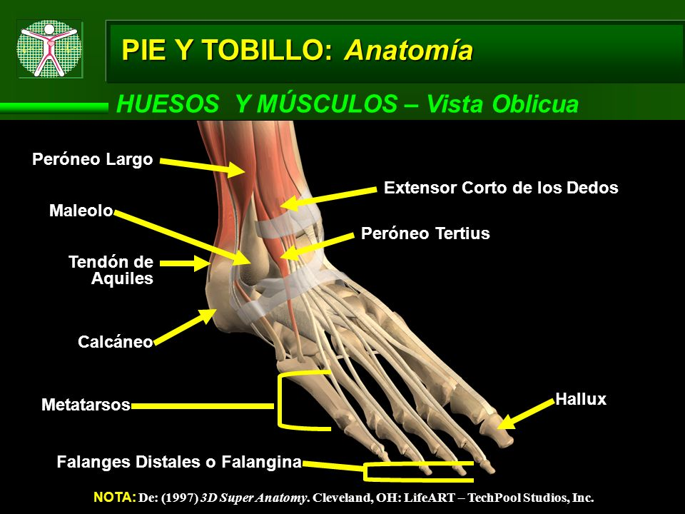 PIE Y TOBILLO: Anatomía HUESOS Y MÚSCULOS – Vista Oblicua NOTA: De: (1997) 3D Super Anatomy. Cleveland, OH: LifeART – TechPool Studios, Inc. Calcáneo