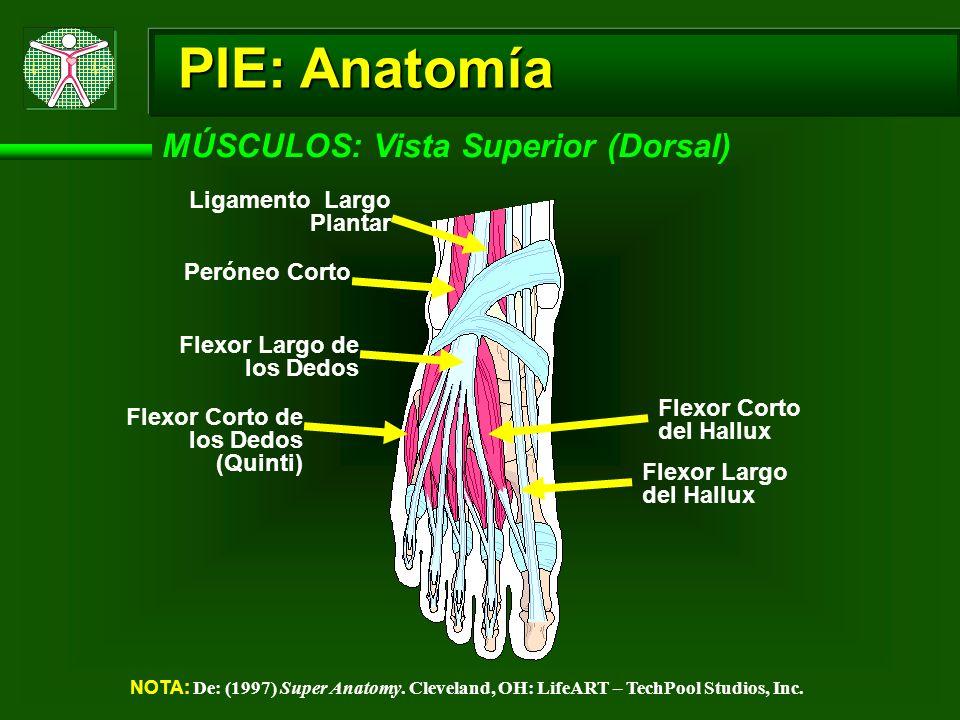 PIE: Anatomía MÚSCULOS: Vista Superior (Dorsal) NOTA: De: (1997) Super Anatomy. Cleveland, OH: LifeART – TechPool Studios, Inc. Flexor Largo de los De