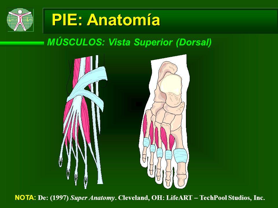PIE: Anatomía MÚSCULOS: Vista Superior (Dorsal) NOTA: De: (1997) Super Anatomy. Cleveland, OH: LifeART – TechPool Studios, Inc.
