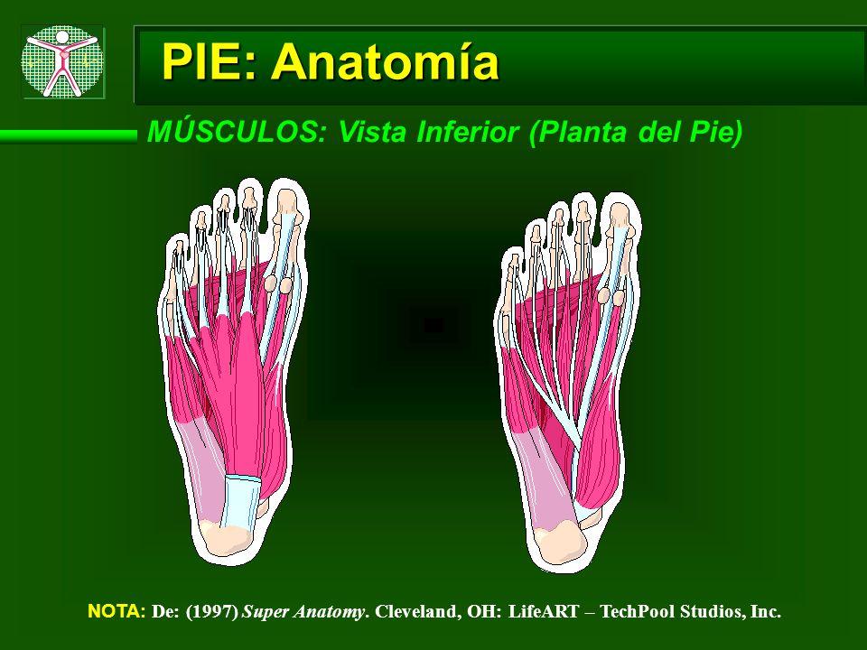 PIE: Anatomía MÚSCULOS: Vista Inferior (Planta del Pie) NOTA: De: (1997) Super Anatomy. Cleveland, OH: LifeART – TechPool Studios, Inc.