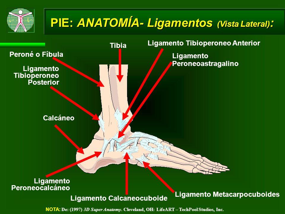 PIE: ANATOMÍA- Ligamentos (Vista Lateral) : NOTA: De: (1997) 3D Super Anatomy. Cleveland, OH: LifeART – TechPool Studios, Inc. Ligamento Metacarpocubo