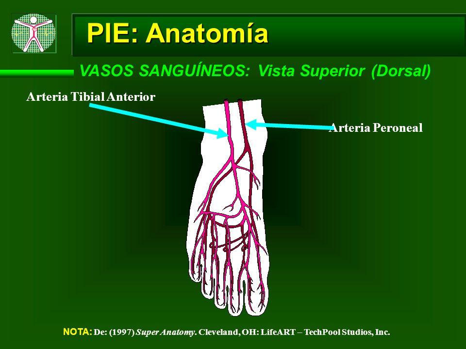 PIE: Anatomía VASOS SANGUÍNEOS: Vista Superior (Dorsal) NOTA: De: (1997) Super Anatomy. Cleveland, OH: LifeART – TechPool Studios, Inc. Arteria Tibial