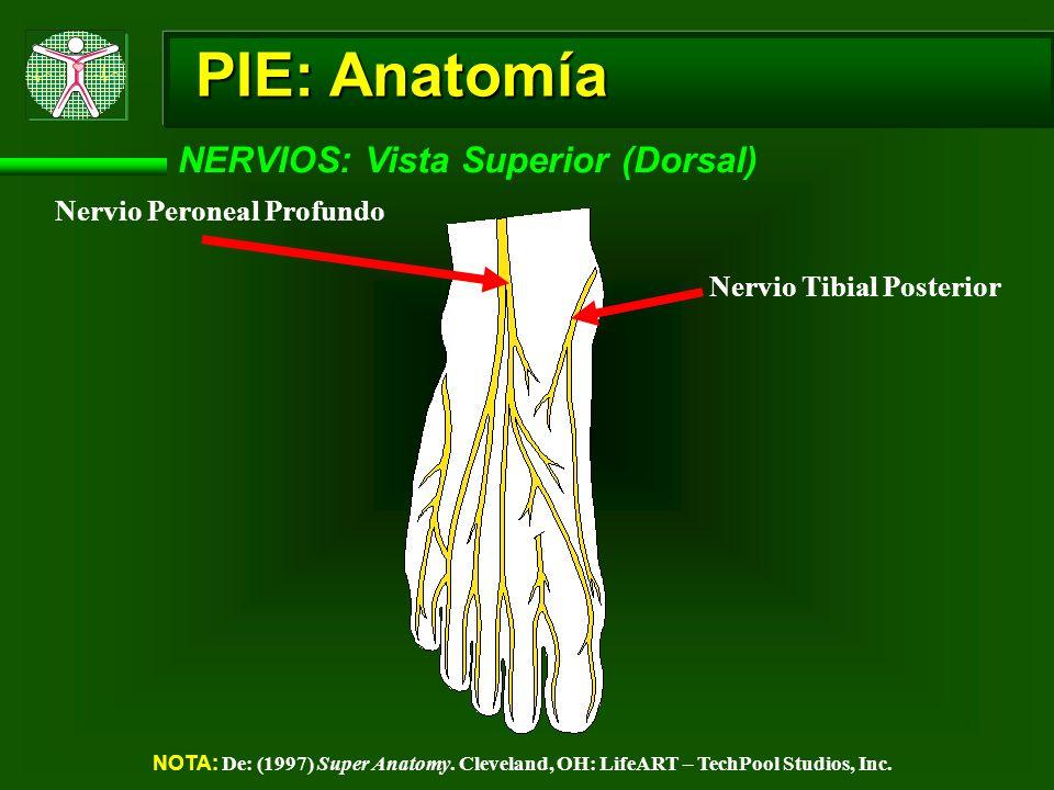 PIE: Anatomía NERVIOS: Vista Superior (Dorsal) NOTA: De: (1997) Super Anatomy. Cleveland, OH: LifeART – TechPool Studios, Inc. Nervio Peroneal Profund