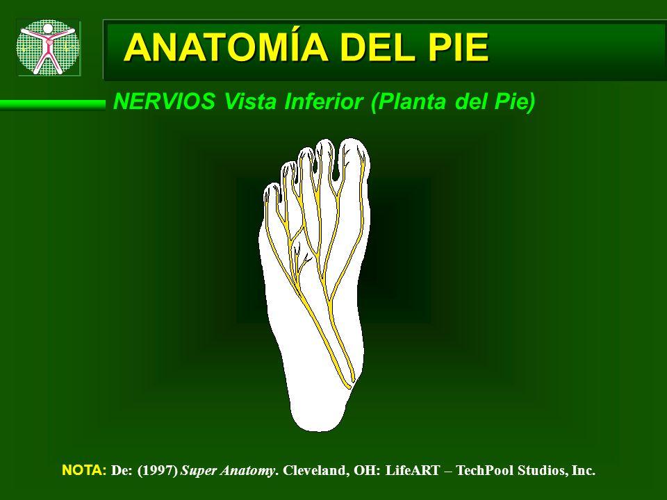 ANATOMÍA DEL PIE NERVIOS Vista Inferior (Planta del Pie) NOTA: De: (1997) Super Anatomy. Cleveland, OH: LifeART – TechPool Studios, Inc.