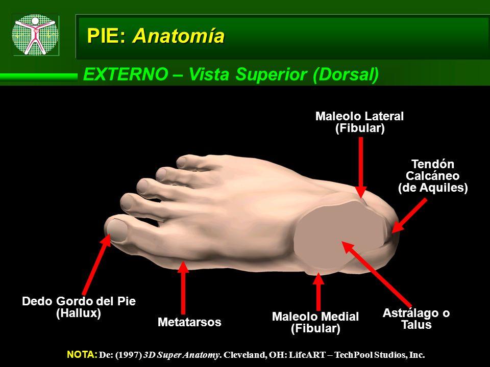PIE: Anatomía EXTERNO – Vista Superior (Dorsal) NOTA: De: (1997) 3D Super Anatomy. Cleveland, OH: LifeART – TechPool Studios, Inc. Dedo Gordo del Pie