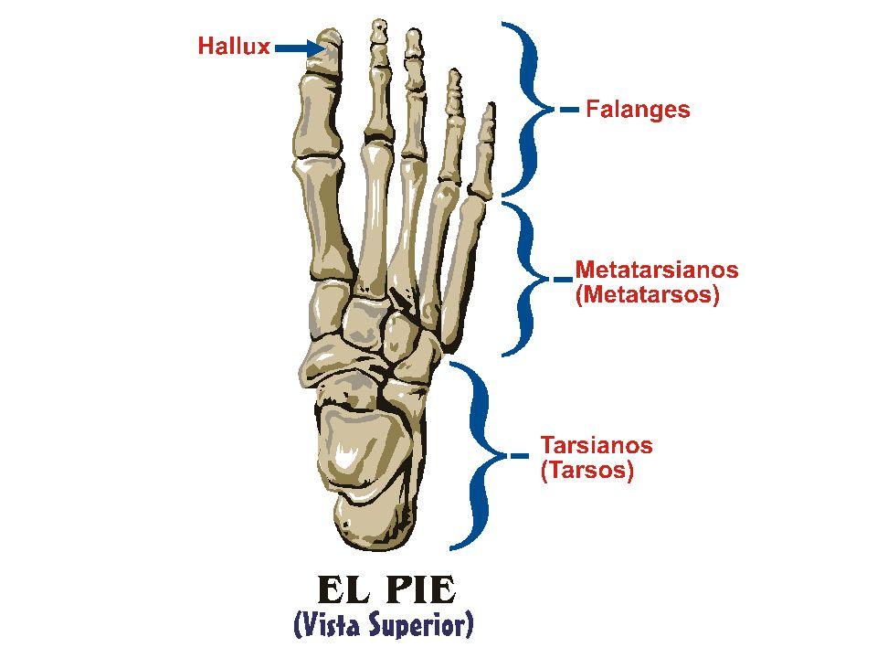 PIE: Anatomía MÚSCULOS: Vista Superior (Dorsal) NOTA: De: (1997) Super Anatomy.
