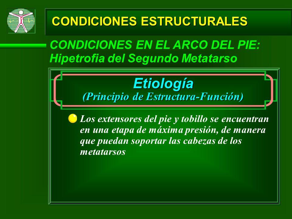CONDICIONES ESTRUCTURALES CONDICIONES EN EL ARCO DEL PIE: Hipetrofia del Segundo Metatarso Etiología (Principio de Estructura-Función) Los extensores