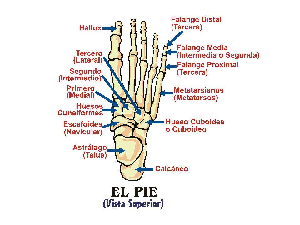 CONDICIONES DEL PIE CONDICIONES EN LA BOLA Y FRENTE DEL PIE Metatarsalgia Síndrome de Morton Juanetes (Hallux Valgus) Dedos en Martillo o de Garras