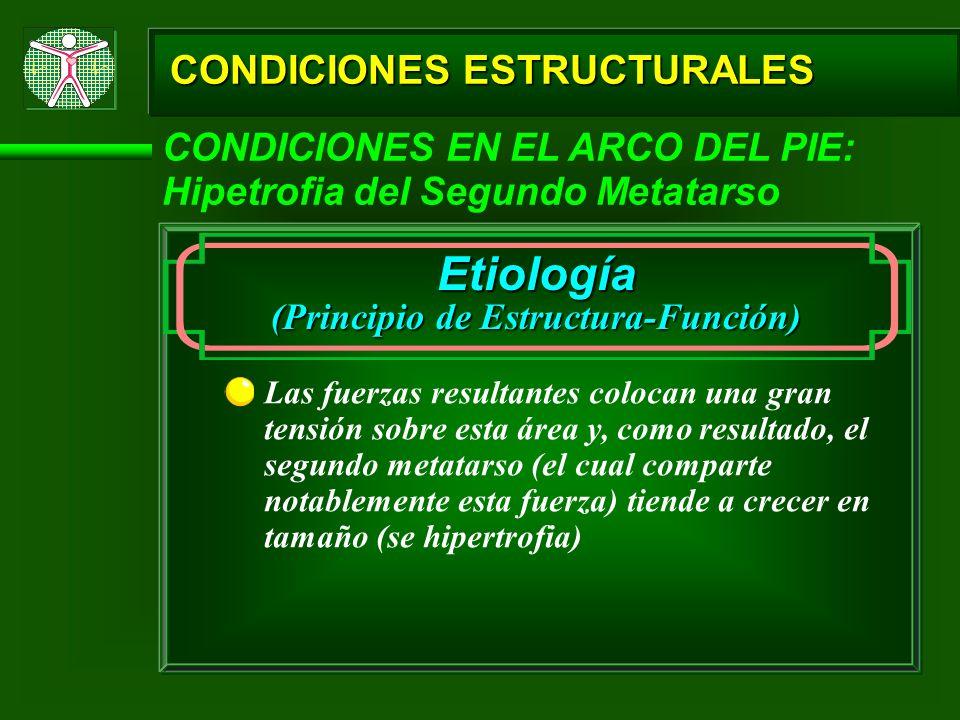 CONDICIONES ESTRUCTURALES CONDICIONES EN EL ARCO DEL PIE: Hipetrofia del Segundo Metatarso Etiología (Principio de Estructura-Función) Las fuerzas res
