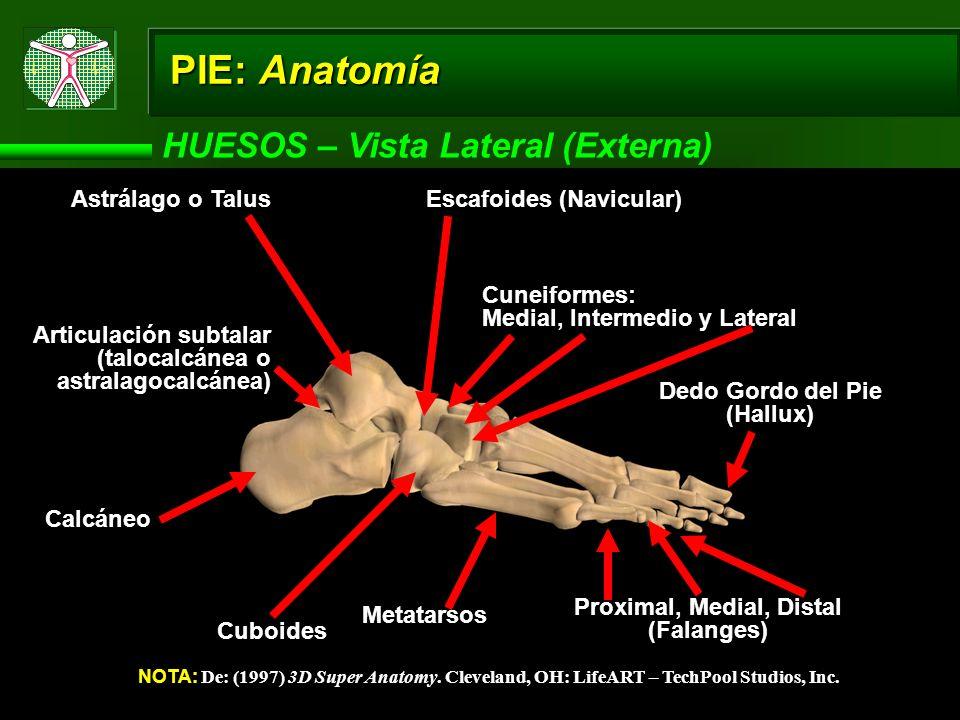 PIE: Anatomía HUESOS – Vista Superior (Dorsal) NOTA: De: (1997) 3D Super Anatomy.