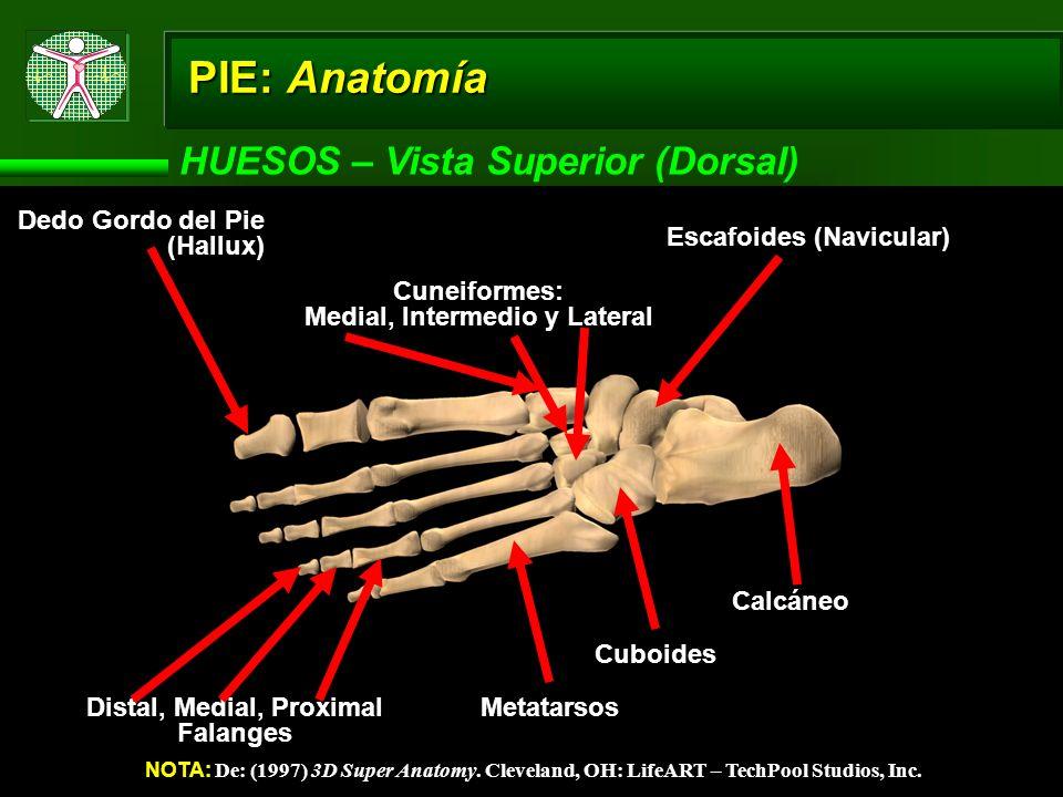 PIE: Anatomía HUESOS – Vista Superior (Dorsal) NOTA: De: (1997) 3D Super Anatomy. Cleveland, OH: LifeART – TechPool Studios, Inc. Calcáneo Cuboides Me