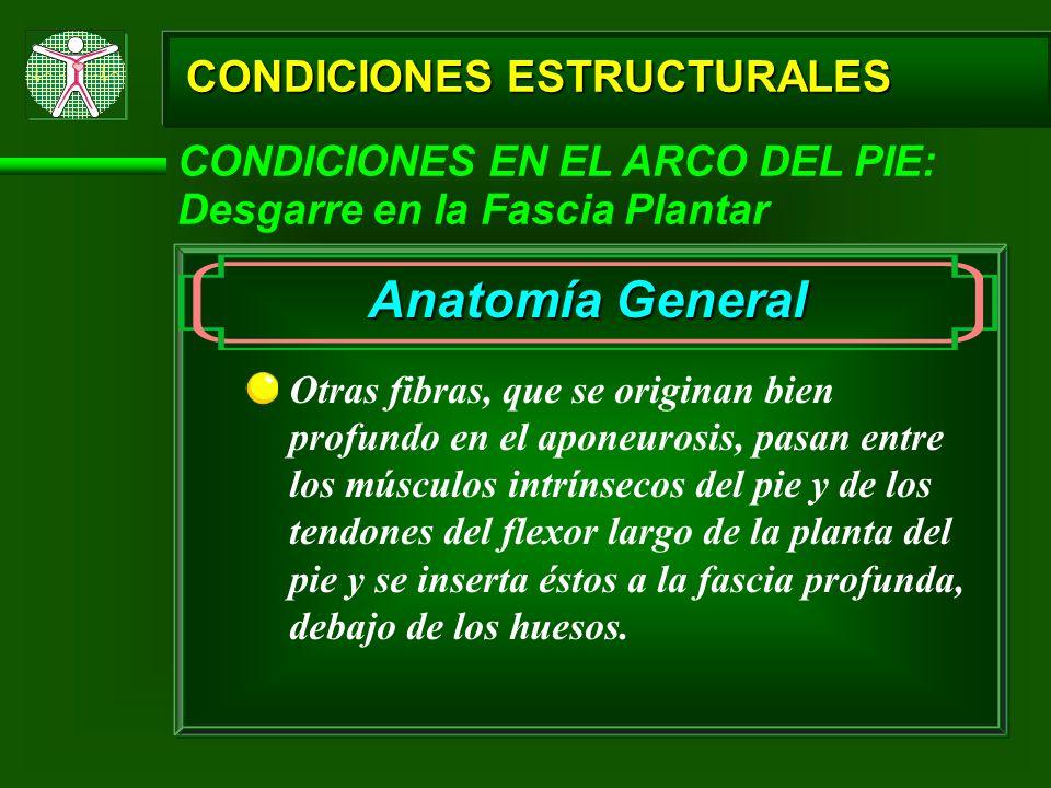 CONDICIONES ESTRUCTURALES CONDICIONES EN EL ARCO DEL PIE: Desgarre en la Fascia Plantar Otras fibras, que se originan bien profundo en el aponeurosis,