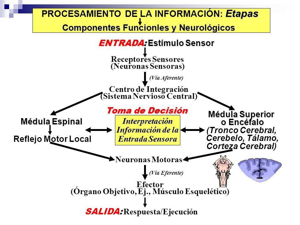 Etapas PROCESAMIENTO DE LA INFORMACIÓN : Etapas Componentes Funcionles y Neurológicos ENTRADA: Estímulo Sensor Receptores Sensores (Neuronas Sensoras)
