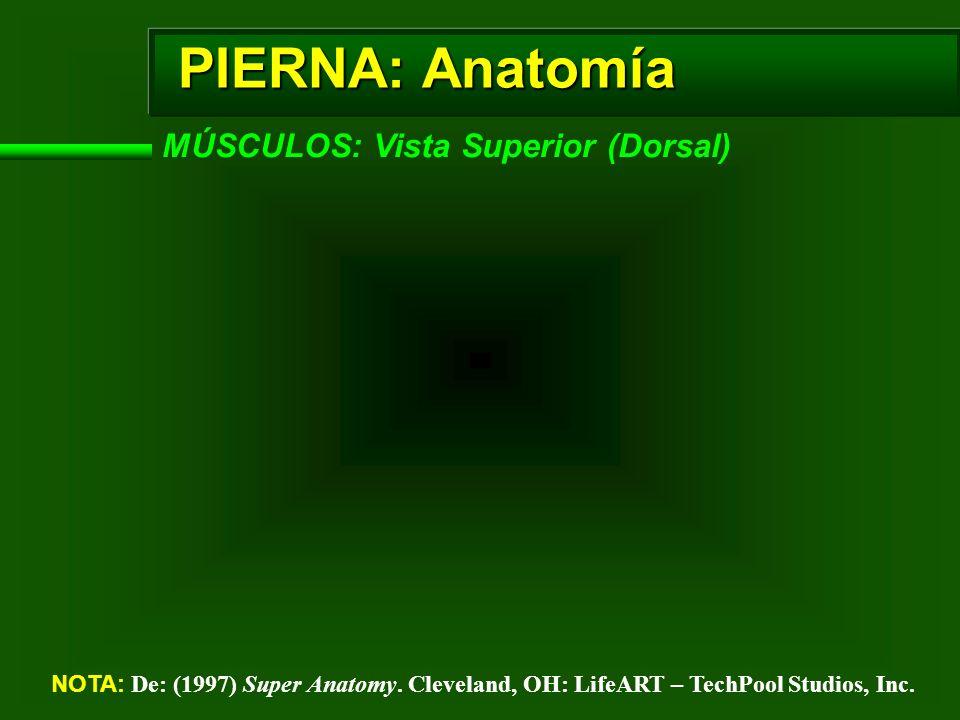 PIERNA: Anatomía MÚSCULOS: Vista Superior (Dorsal) NOTA: De: (1997) Super Anatomy. Cleveland, OH: LifeART – TechPool Studios, Inc.