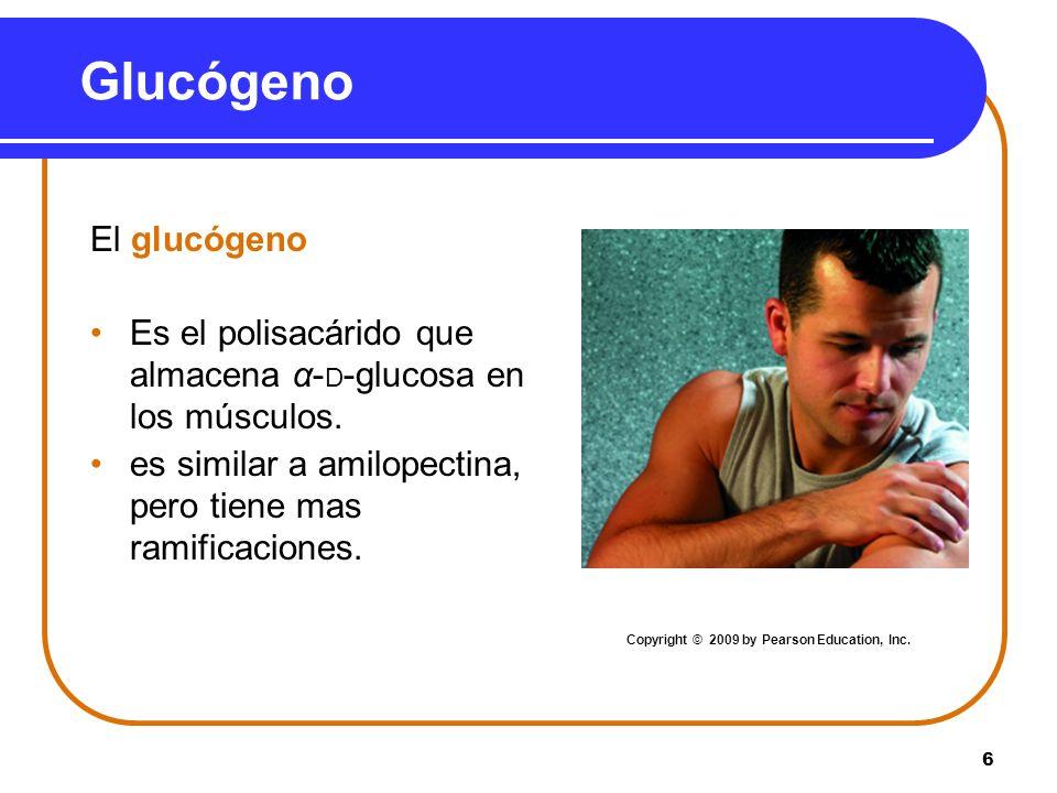 6 Glucógeno El glucógeno Es el polisacárido que almacena α- D -glucosa en los músculos. es similar a amilopectina, pero tiene mas ramificaciones. Copy