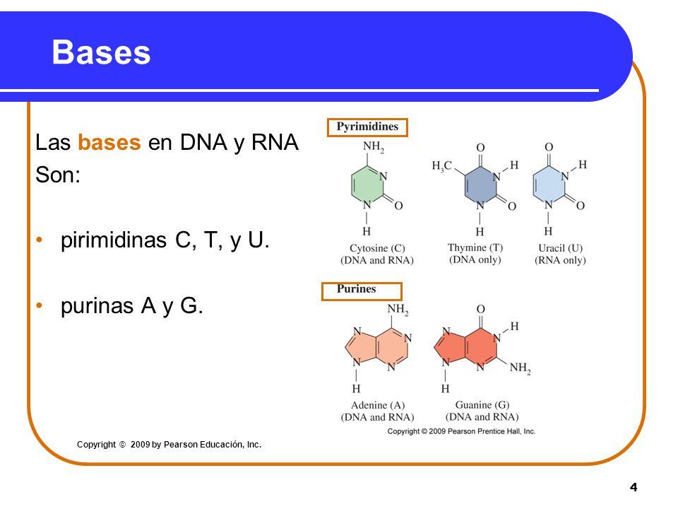 4 Bases Las bases en DNA y RNA Son: pirimidinas C, T, y U. purinas A y G. Copyright © 2009 by Pearson Educación, Inc.