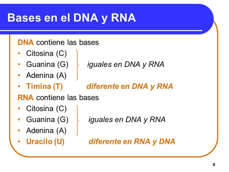 5 Bases en el DNA y RNA DNA contiene las bases Citosina (C) Guanina (G) iguales en DNA y RNA Adenina (A) Timina (T)diferente en DNA y RNA RNA contiene