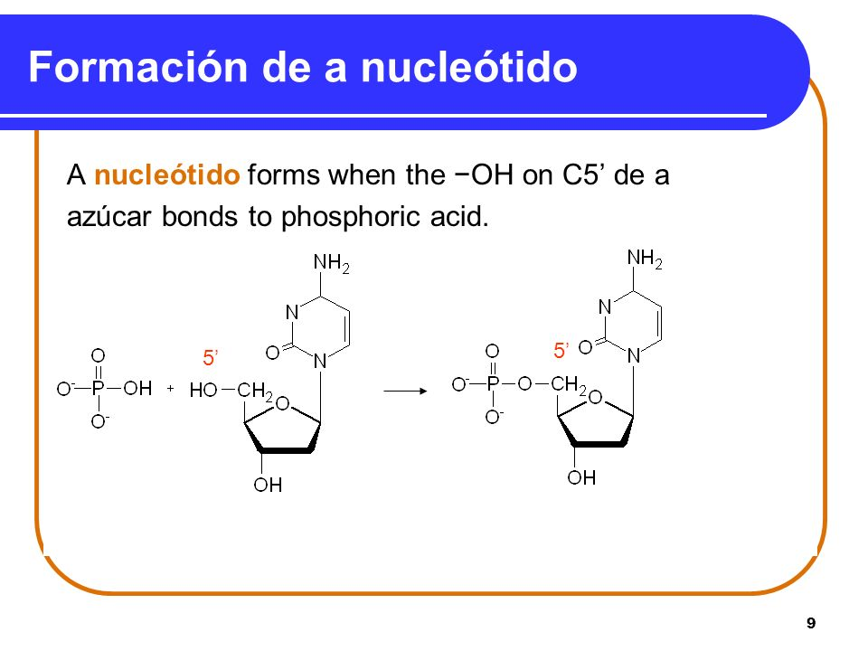 9 Formación de a nucleótido A nucleótido forms when the OH on C5 de a azúcar bonds to phosphoric acid. 5 5