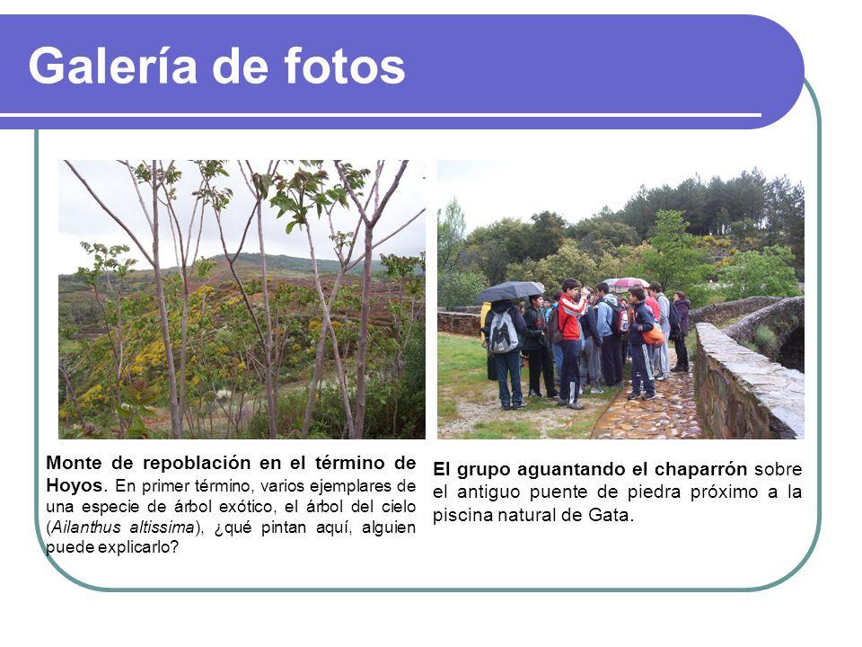 Galería de fotos Monte de repoblación en el término de Hoyos. En primer término, varios ejemplares de una especie de árbol exótico, el árbol del cielo