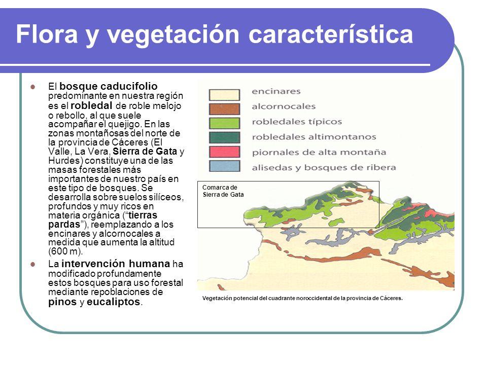 Flora y vegetación característica El bosque caducifolio predominante en nuestra región es el robledal de roble melojo o rebollo, al que suele acompaña
