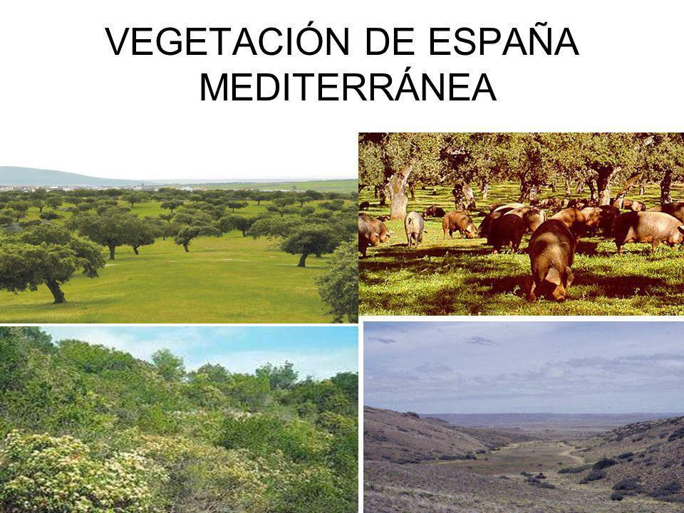 VEGETACIÓN DE ESPAÑA MEDITERRÁNEA
