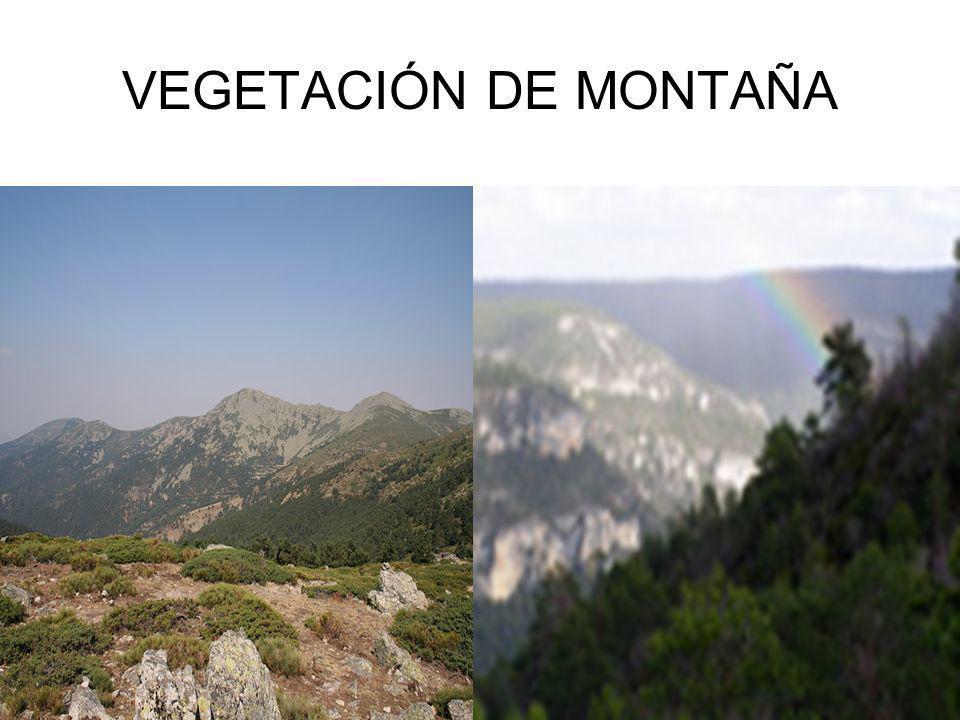 VEGETACIÓN DE MONTAÑA