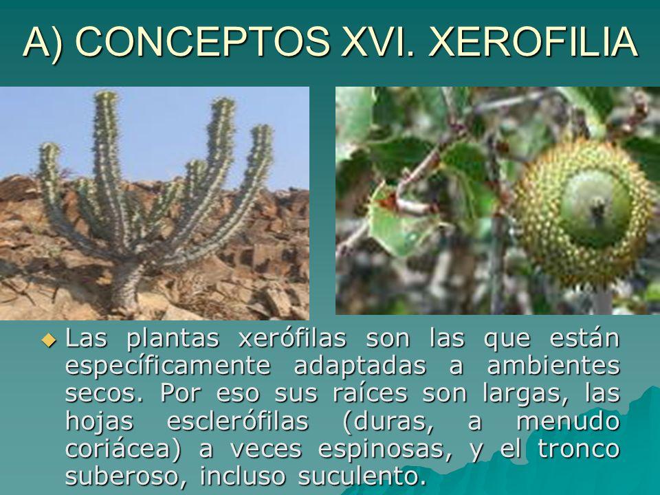 A) CONCEPTOS XVI. XEROFILIA Las plantas xerófilas son las que están específicamente adaptadas a ambientes secos. Por eso sus raíces son largas, las ho