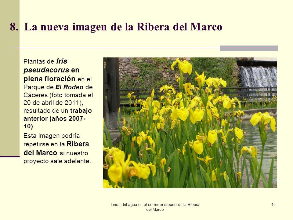 8.La nueva imagen de la Ribera del Marco Plantas de Iris pseudacorus en plena floración en el Parque de El Rodeo de Cáceres (foto tomada el 20 de abri