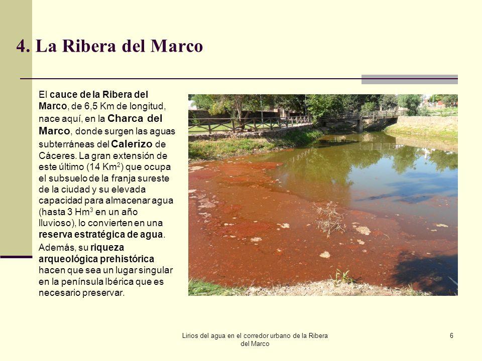 Lirios del agua en el corredor urbano de la Ribera del Marco 7 5.Lirios amarillos de agua en la Charca del Marco La referencia más antigua que he podido contrastar procede de los estudios del Dr.