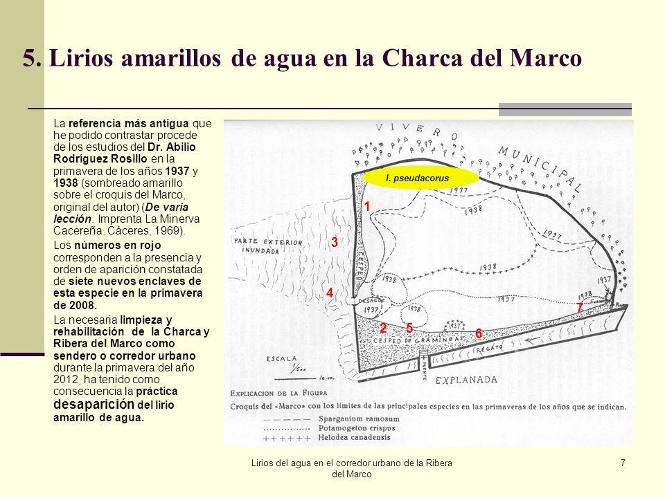 Lirios del agua en el corredor urbano de la Ribera del Marco 7 5.Lirios amarillos de agua en la Charca del Marco La referencia más antigua que he podi