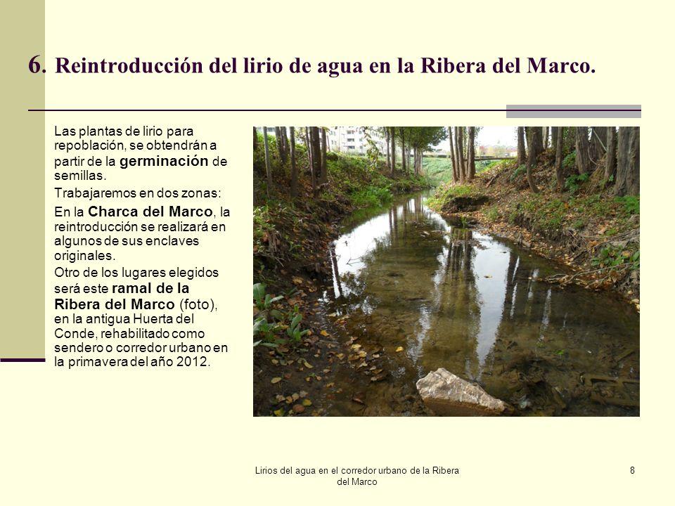 6.Reintroducción del lirio de agua en la Ribera del Marco. Las plantas de lirio para repoblación, se obtendrán a partir de la germinación de semillas.