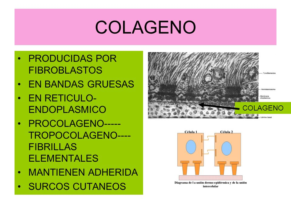 COLAGENO PRODUCIDAS POR FIBROBLASTOS EN BANDAS GRUESAS EN RETICULO- ENDOPLASMICO PROCOLAGENO----- TROPOCOLAGENO---- FIBRILLAS ELEMENTALES MANTIENEN AD