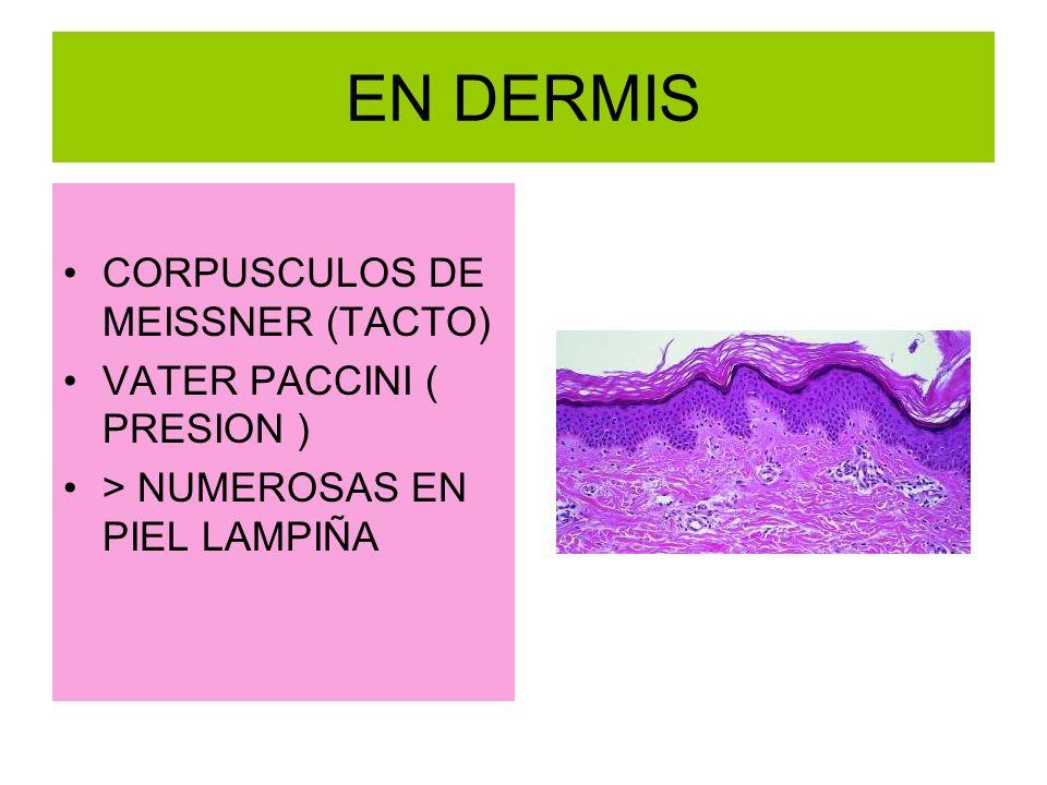 EN DERMIS CORPUSCULOS DE MEISSNER (TACTO) VATER PACCINI ( PRESION ) > NUMEROSAS EN PIEL LAMPIÑA