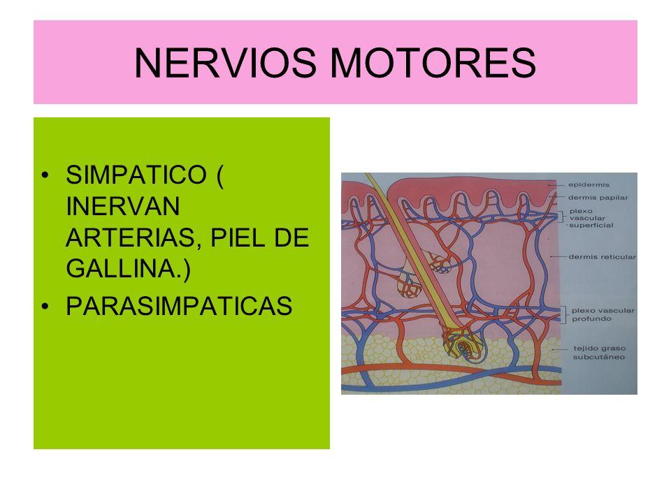 NERVIOS MOTORES SIMPATICO ( INERVAN ARTERIAS, PIEL DE GALLINA.) PARASIMPATICAS
