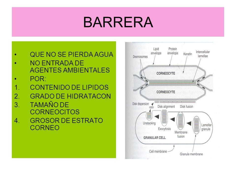 BARRERA QUE NO SE PIERDA AGUA NO ENTRADA DE AGENTES AMBIENTALES POR: 1.CONTENIDO DE LIPIDOS 2.GRADO DE HIDRATACON 3.TAMAÑO DE CORNEOCITOS 4.GROSOR DE