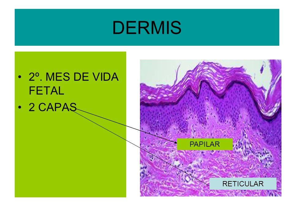 FIBRAS DE LA DERMIS COLAGENO ELASTINA RETICULARES SUSTANCIA FUNDAMENTAL