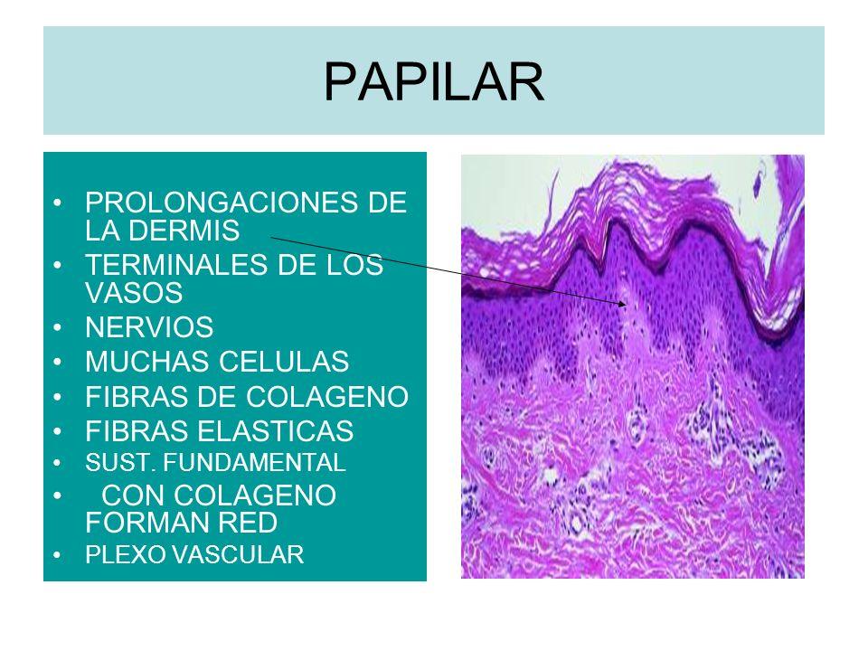 RETICULAR > GRANDE TEJIDO FIBROSO TEJIDO GRASO VASOS SANGUINEOS NERVIOS LINFATICOS CABELLOS COLAGENO MAS GRUESO > FIBRAS ELASTICAS ( 63 NM)