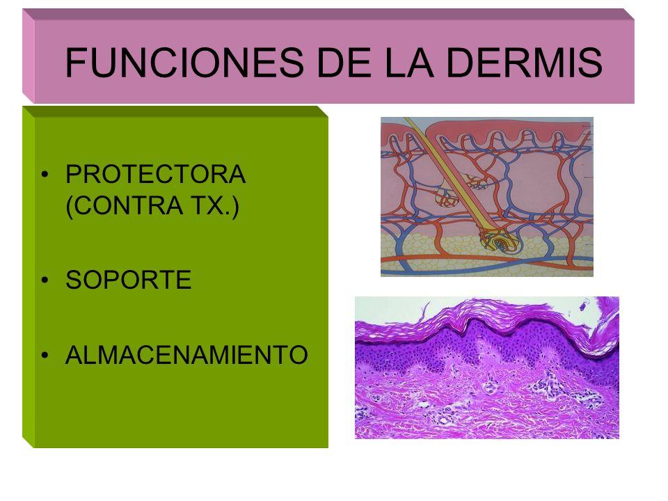 MANTO ACIDO SECRESIONES EPIDERMICAS Y ANEXIALES RECUBRE, HIDRATAN, PROTEGEN > LIPIDOS CUTANEOS Y SEBACEOS PH ACIDO SECRESION HOLOCRINA CORNEOCITOS