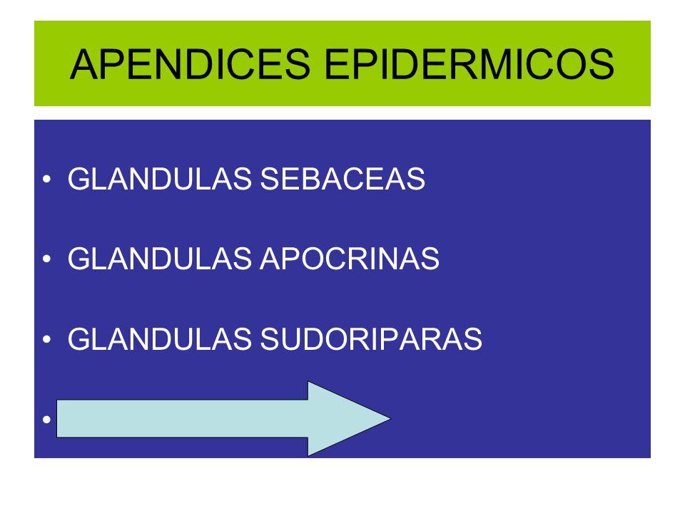 APENDICES EPIDERMICOS GLANDULAS SEBACEAS GLANDULAS APOCRINAS GLANDULAS SUDORIPARAS FOLICULO PILOSO