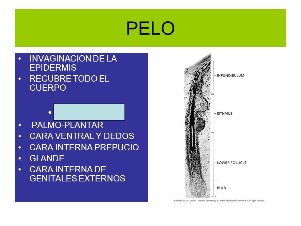 PELO INVAGINACION DE LA EPIDERMIS RECUBRE TODO EL CUERPO EXCEPTO PALMO-PLANTAR CARA VENTRAL Y DEDOS CARA INTERNA PREPUCIO GLANDE CARA INTERNA DE GENIT