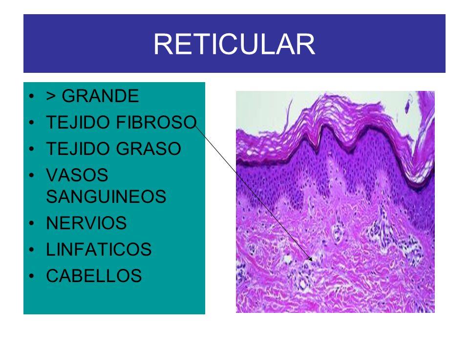 RETICULAR > GRANDE TEJIDO FIBROSO TEJIDO GRASO VASOS SANGUINEOS NERVIOS LINFATICOS CABELLOS