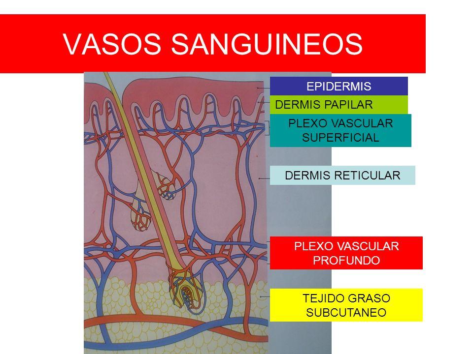 VASOS SANGUINEOS PLEXO VASCULAR SUPERFICIAL PLEXO VASCULAR PROFUNDO EPIDERMIS DERMIS PAPILAR DERMIS RETICULAR TEJIDO GRASO SUBCUTANEO